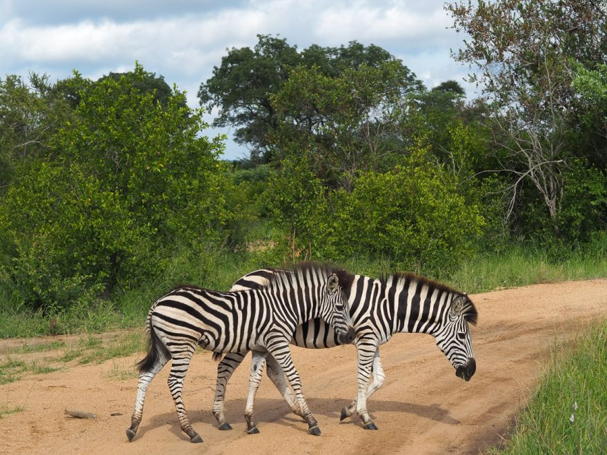 silvan 106 880x660 - REVIEW - Silvan Safari (Sabi Sands, SA)