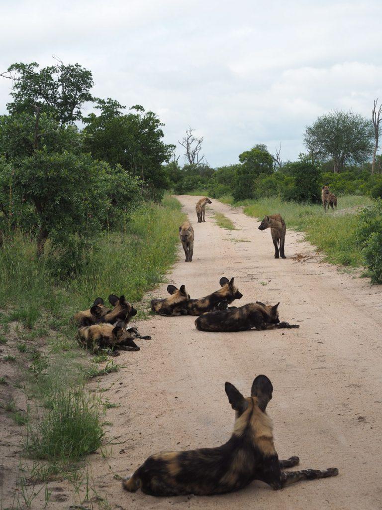 silvan 128 768x1024 - REVIEW - Silvan Safari (Sabi Sands, SA)
