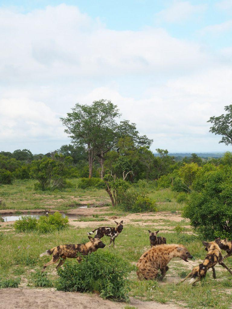 silvan 130 768x1024 - REVIEW - Silvan Safari (Sabi Sands, SA)