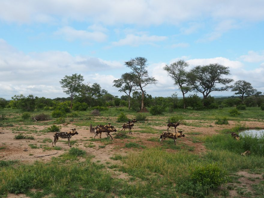 silvan 131 880x660 - REVIEW - Silvan Safari (Sabi Sands, SA)