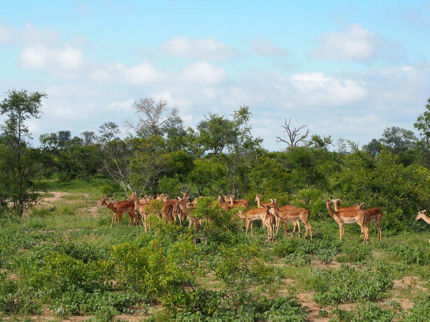 silvan 134 880x660 - REVIEW - Silvan Safari (Sabi Sands, SA)