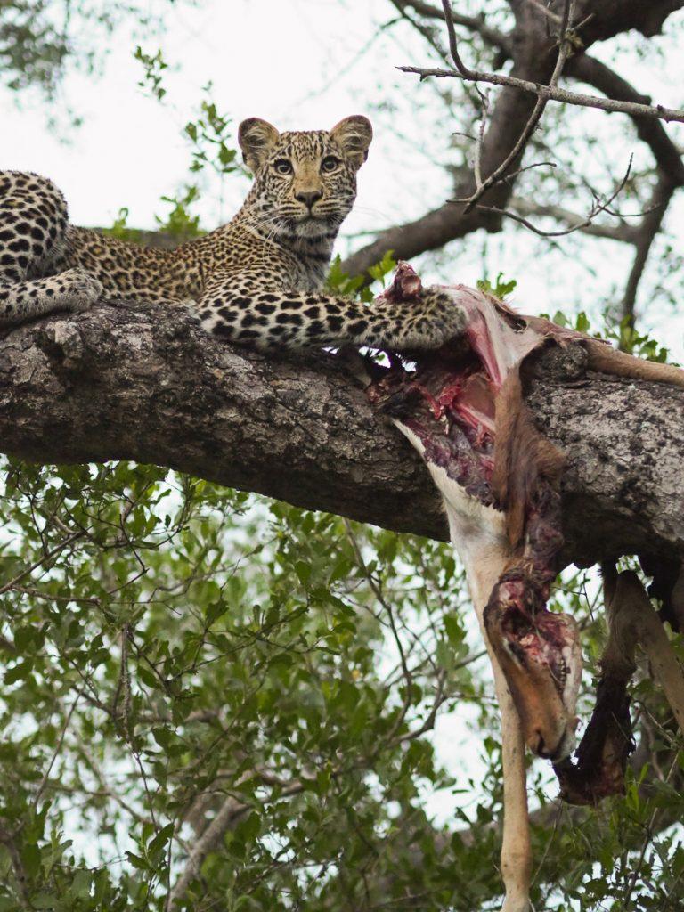 silvan 178 768x1024 - REVIEW - Silvan Safari (Sabi Sands, SA)