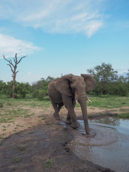 silvan 180 450x600 - REVIEW - Silvan Safari (Sabi Sands, SA)