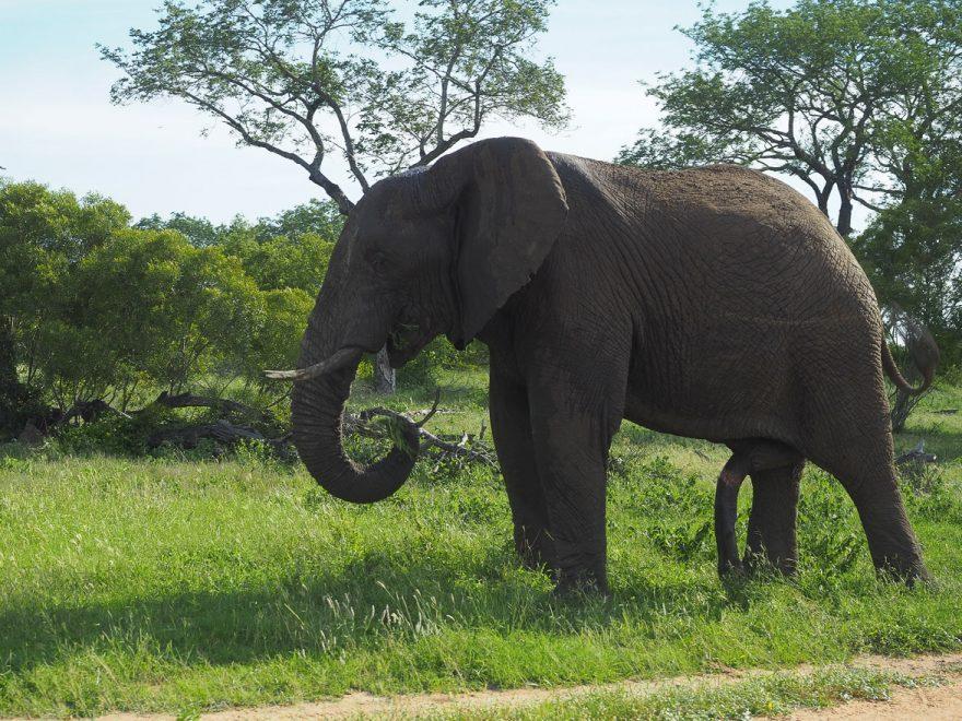 silvan 3 880x660 - REVIEW - Silvan Safari (Sabi Sands, SA)