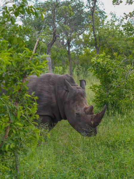 silvan 97 450x600 - REVIEW - Silvan Safari (Sabi Sands, SA)