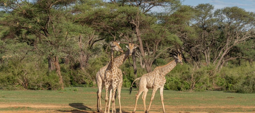 Matetsi 72 1080x480 - REVIEW - Matetsi Victoria Falls (Zimbabwe)